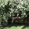 Trandafirii cataratori (II)