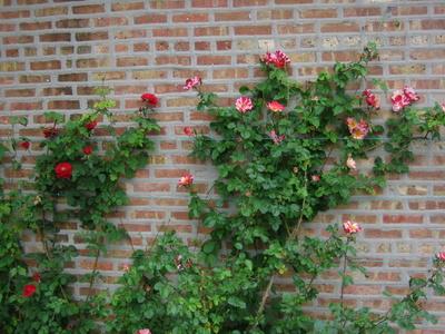 Zid cu trandafiri cataratori
