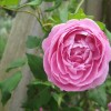 Trandafirii cataratori (III)