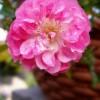 Trandafiri in ghivece (I)