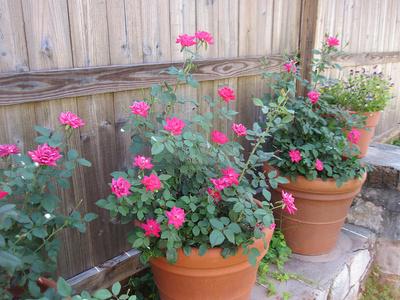 trandafiri_in_ghiveci_400