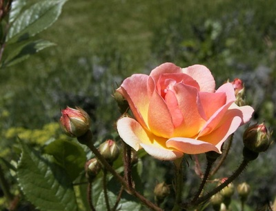 Trandafir Ghislaine de feligonde