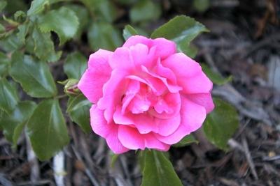Trandafir Heidetraum