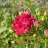 Daunatorii trandafirului
