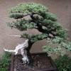 Ingrijirea bonsaiului