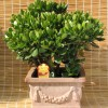 Plantarea bonsailor