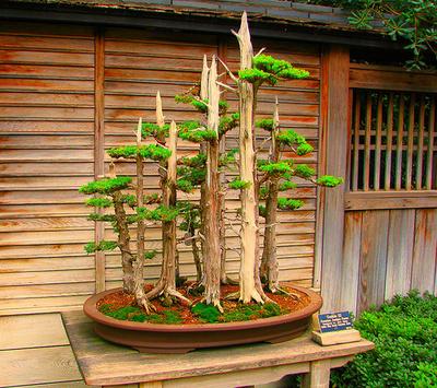 Arbori bonsai