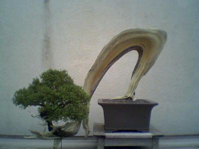 Bonsai crescut in afara ghiveciului