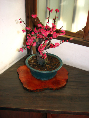 Bonsai de prun