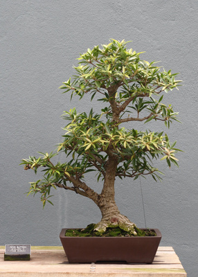 Bonsai de Ficus battieri