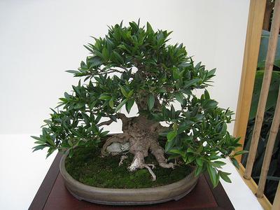 Bonsai de Ficus benjamina