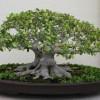 Specii de ficus pentru bonsai