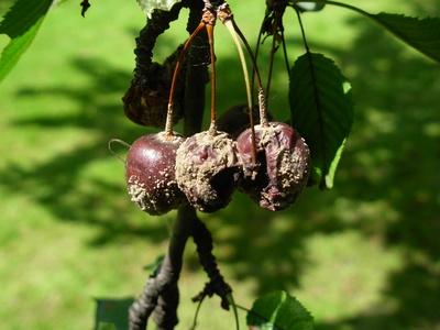 Cirese atacate de Monilia fructigena