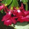 Cactusul Craciunului