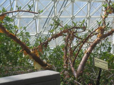 Arborele de tamaie