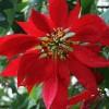 Steaua Craciunului si alte flori de Craciun