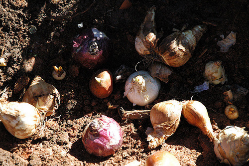 plantare bulbi