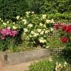 Top 10 trandafiri cu inflorire tarzie