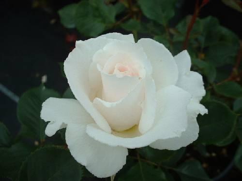 Rosa Margaret Merrill