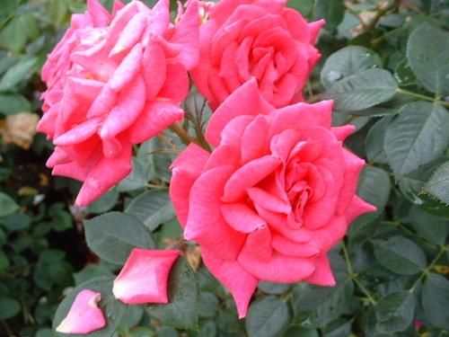 Rosa Gloriana