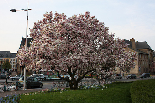 magnolia_width