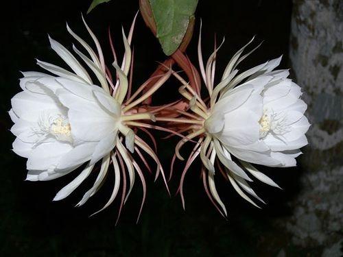 floarea kadupul