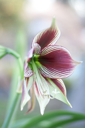 hippeastrum butterfly