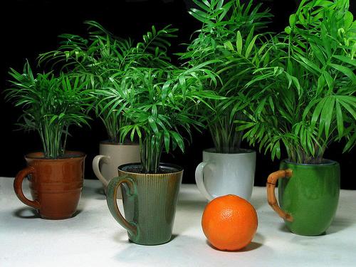 Palmierii de apartament plante decorative prin frunze Plante decorative