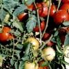 Soiuri de legume romanesti oferite de SCDL Buzau