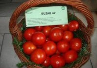 tomate_buzau47_01