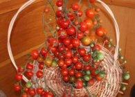 tomate coralina