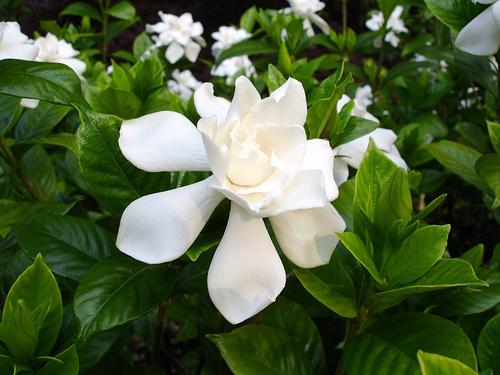 flori gardenia