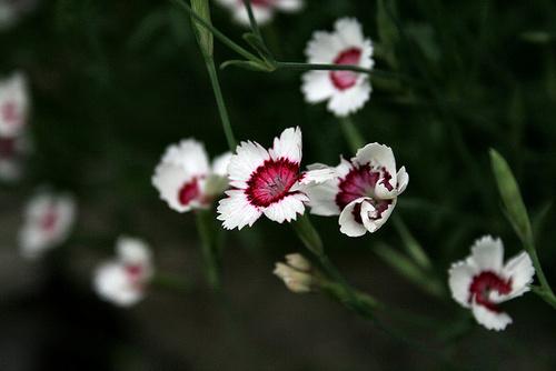 dianthus daltoides