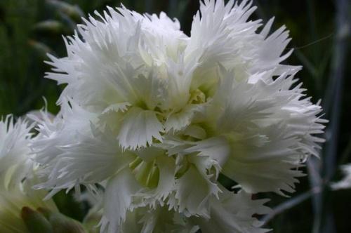 Dianthus Mrs. sinkins