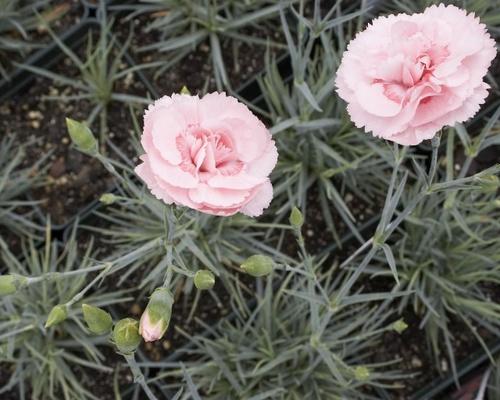 Dianthus allwoodii Helen