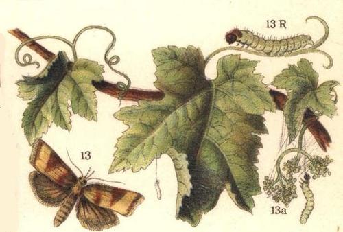Sparganothis pillerian