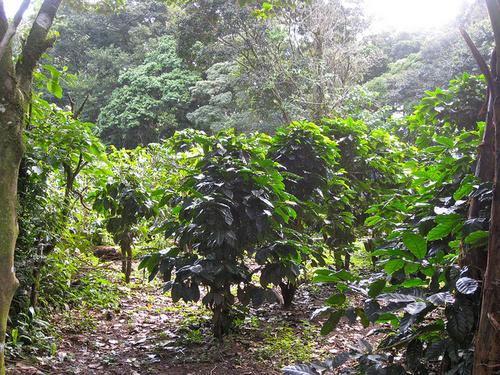plantatie de cafea
