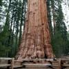 Sequoia - Arborele mamut