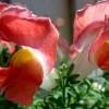 Floarea copilariei mele - Gura-Leului