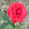 5 motive pentru a creste trandafiri