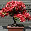 Cum se plantează un bonsai