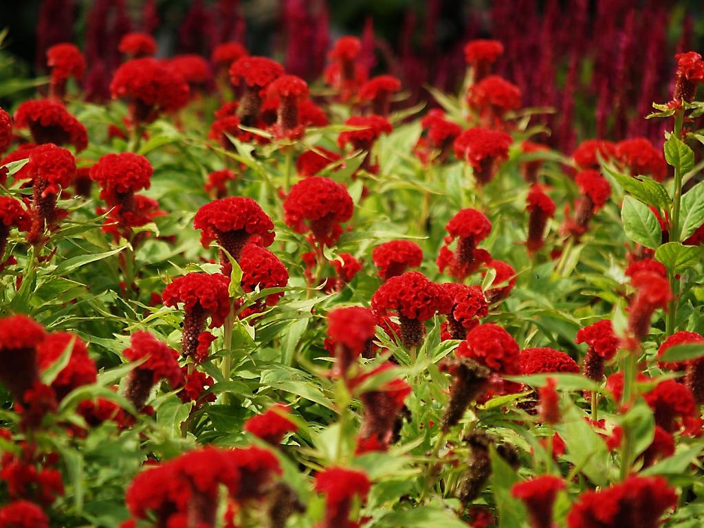 Creasta cocosului plante decorative prin flori for Plante decorative