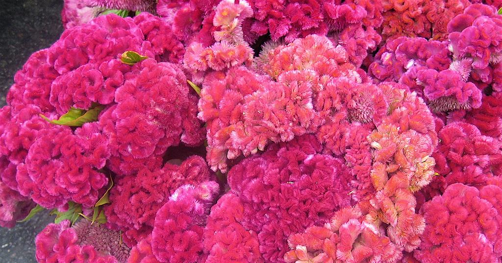 creasta cocosului roz