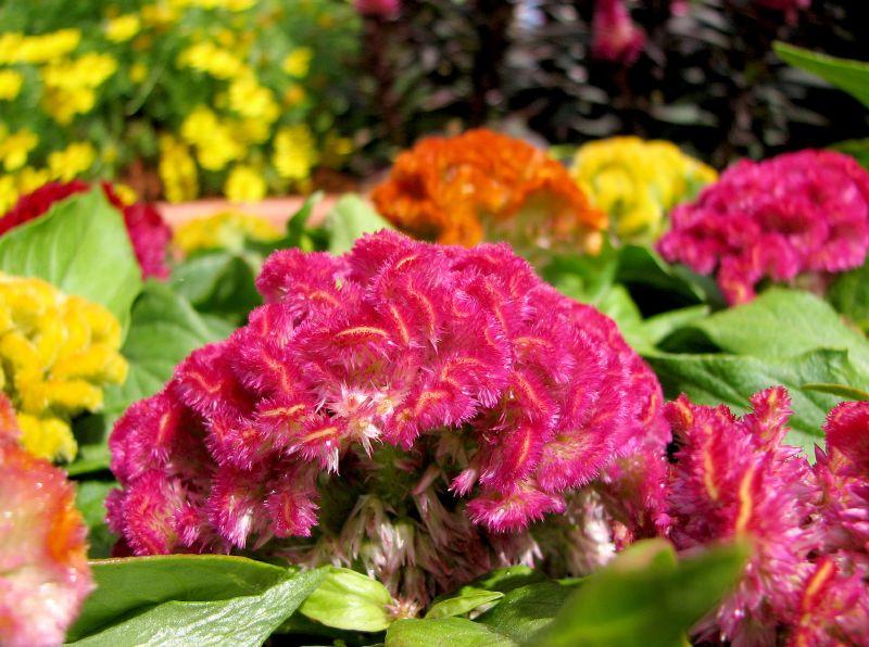 celosia crestata roz