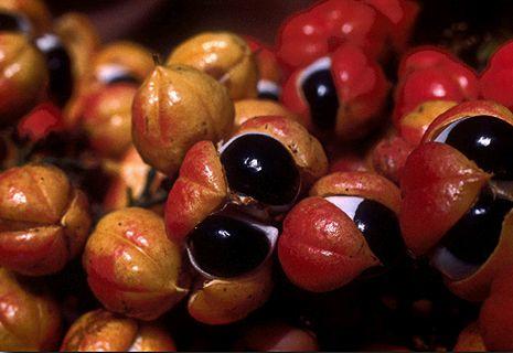 Fructe de Guarana