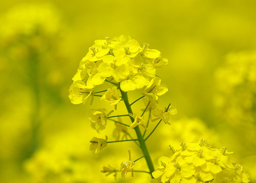 planta inflorita de mustar