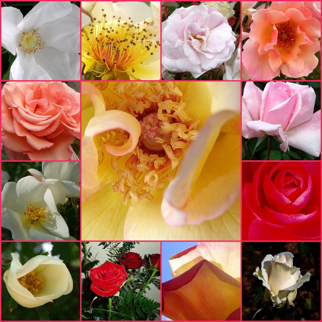 bolile trandafirilor