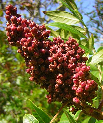 Rhus typhina fructe