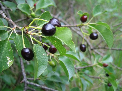 Prunus mahaleb visin turcesc