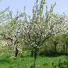 Pomi fructiferi se micsoreaza